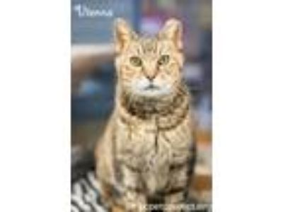 Adopt Vienna a Domestic Short Hair