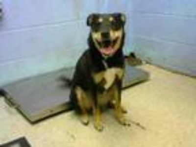 Adopt PHOEBE a Black and Tan Coonhound