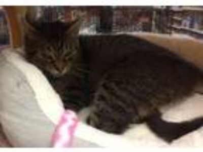 Adopt Lola a Domestic Short Hair