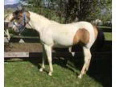 2018 Part Arabian Dark Buckskin Pinto Filly