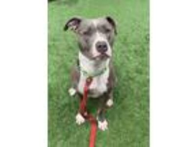 Adopt Anna a American Staffordshire Terrier, Pit Bull Terrier