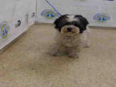 Adopt BENJI a White - with Black Lhasa Apso / Mixed dog in Doral, FL (25244237)