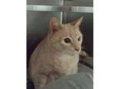 Adopt Carlos and Oliver a Domestic Short Hair