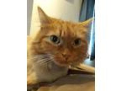 Adopt Tiger a Orange or Red Domestic Longhair cat in Batavia, NY (24948011)