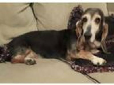 Adopt Mushroom a Tricolor (Tan/Brown & Black & White) Basset Hound / Mixed dog