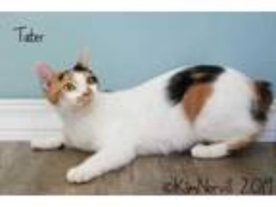 Adopt Tater a White Domestic Shorthair / Domestic Shorthair / Mixed cat in
