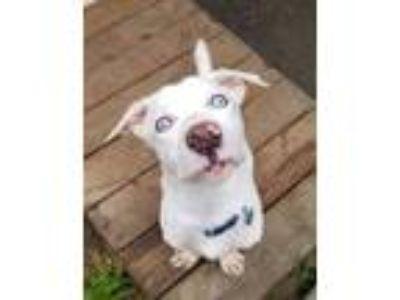 Adopt Chance a Basset Hound, Pit Bull Terrier