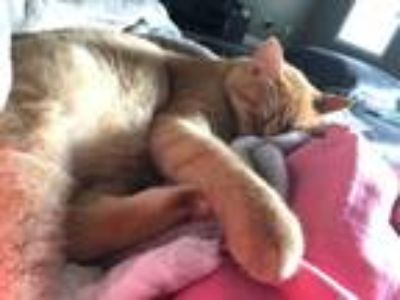 Adopt Cat a Orange or Red Abyssinian / Mixed cat in Fayetteville, NC (23256886)