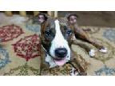 Adopt Riley a Pit Bull Terrier