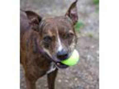 Adopt Saucy (mcas) a American Pit Bull Terrier / Mixed dog in Troutdale