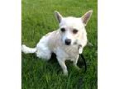 Adopt Gracie a White Terrier (Unknown Type, Medium) / Mixed dog in Issaquah