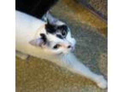 Adopt Connie a White Domestic Shorthair / Domestic Shorthair / Mixed cat in