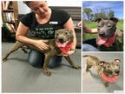 Adopt ESME a Gray/Silver/Salt & Pepper - with White American Pit Bull Terrier /