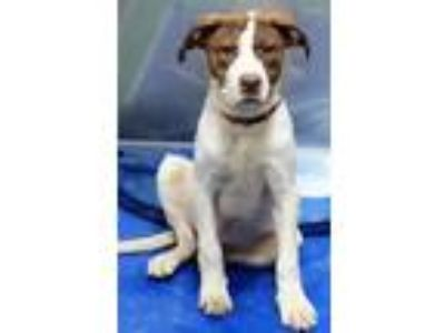 Adopt Lawrence a White Border Collie / Mixed dog in The Colony, TX (25279277)