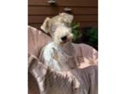 Adopt ROO a Wire Fox Terrier