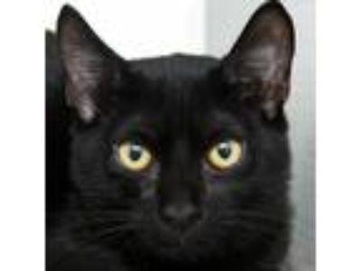 Adopt Jhett a Black & White or Tuxedo Domestic Shorthair / Mixed cat in