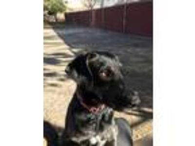 Adopt Phoebe a Black Mixed Breed (Large) / Mixed dog in Buellton, CA (20756490)