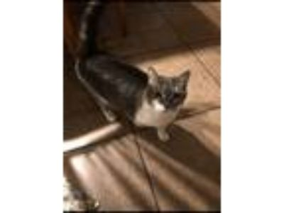 Adopt Arwen a Calico or Dilute Calico Calico / Mixed cat in Buckeye