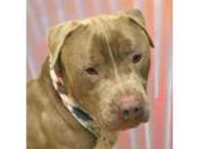Adopt Dale a Tan/Yellow/Fawn American Pit Bull Terrier / Mixed dog in