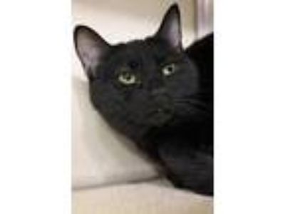 Adopt Ellen a All Black Domestic Shorthair / Domestic Shorthair / Mixed cat in