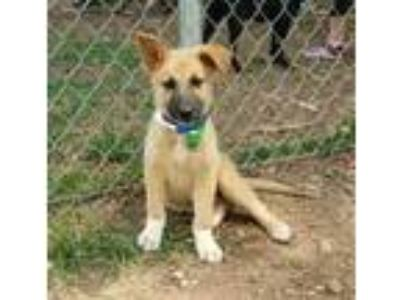 Adopt 42191600 a Brown/Chocolate German Shepherd Dog / Labrador Retriever /
