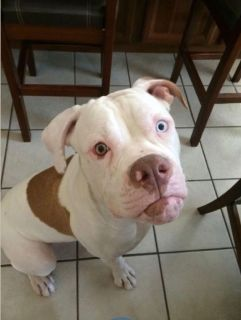 4 year old American Bulldog purebred