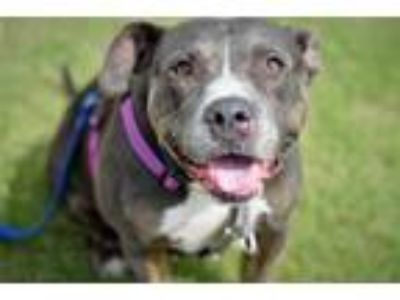 Adopt Mercedes a American Staffordshire Terrier