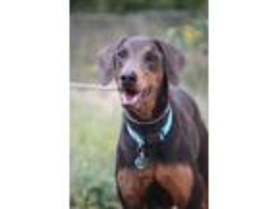 Adopt Nova a Gray/Blue/Silver/Salt & Pepper Doberman Pinscher / Mixed dog in