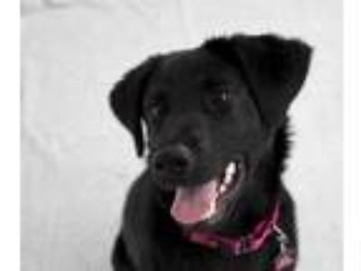 Adopt Eclipse a Black Labrador Retriever / Mixed dog in Berkeley, CA (25840197)