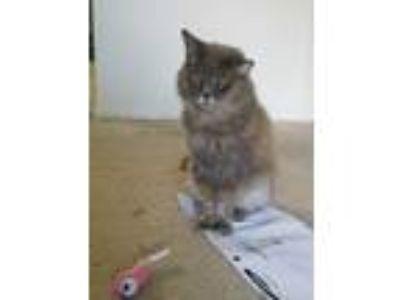 Adopt Cat Doe a Gray or Blue Domestic Mediumhair / Mixed cat in Orlando