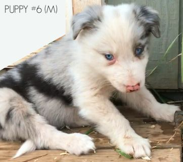 Border Collie PUPPY FOR SALE ADN-83422 - AKC Purebred Show quality Border Collies