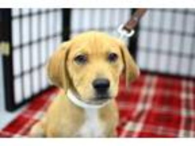 Adopt Shawn a Labrador Retriever, Golden Retriever