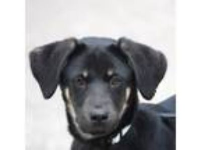 Adopt Bobby a Black - with Tan, Yellow or Fawn German Shepherd Dog / Labrador