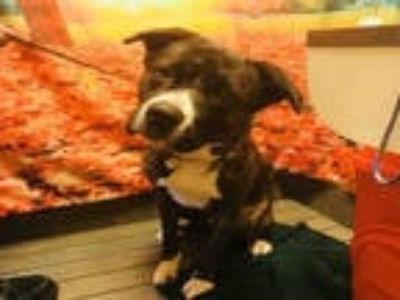 Adopt DEKU a Brindle - with White Akita / Cane Corso / Mixed dog in Upper