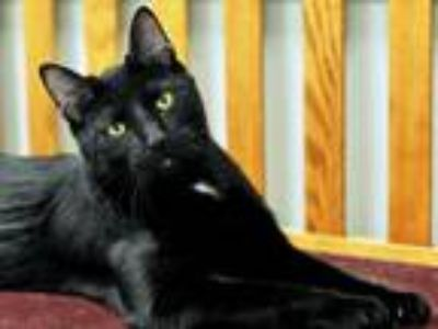 Adopt Luke a All Black Domestic Shorthair (short coat) cat in Great Falls