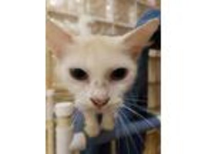 Adopt Madeleine a White Domestic Shorthair / Domestic Shorthair / Mixed cat in