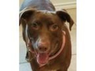 Adopt Dakota FFTR a Brown/Chocolate Labrador Retriever / Mixed dog in Rosemont