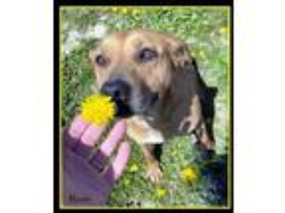 Adopt Rosie a Tan/Yellow/Fawn Mixed Breed (Medium) / Mixed dog in Sullivan