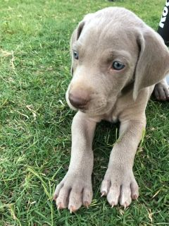 Weimaraner PUPPY FOR SALE ADN-87127 - 4 SILVER MALES AVAILABLE