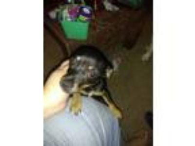 Adopt Baby Girl a Brown/Chocolate - with Black Dachshund dog in Killeen