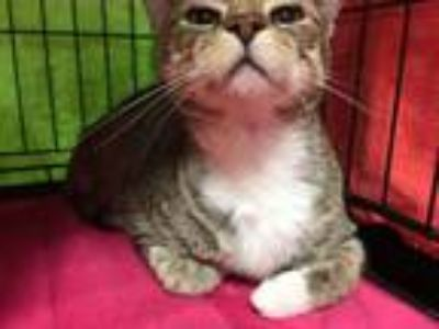 Adopt Duchess a Domestic Short Hair