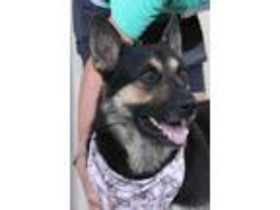 Adopt Martin a Black - with Tan, Yellow or Fawn German Shepherd Dog / Mixed dog