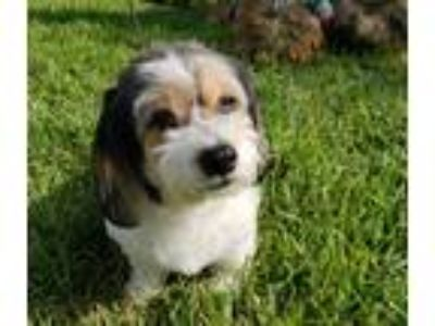 Adopt Trinity a Tricolor (Tan/Brown & Black & White) Dachshund / Mixed dog in