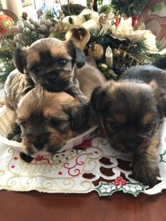 Shih Tzu-Yorkie-ton Mix PUPPY FOR SALE ADN-108040 - Three Adorable Shorkies
