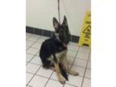 Adopt Spirit a German Shepherd Dog