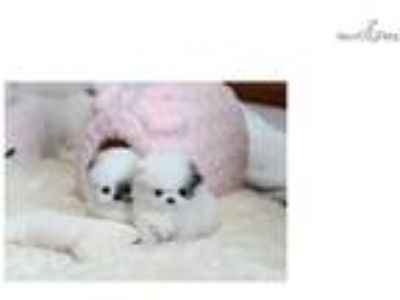 teacup puppies - ADORABLE POMERANIAN -FINANCING