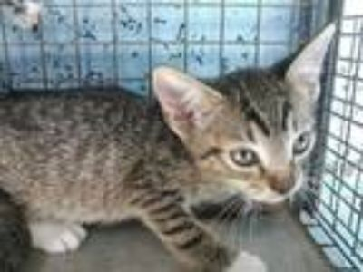 Adopt GRAYSON a Brown Tabby Domestic Shorthair / Mixed (short coat) cat in Fort