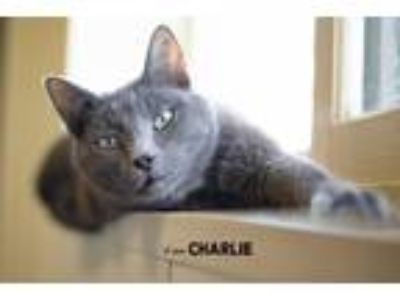 Adopt Charlie a Domestic Shorthair / Mixed (short coat) cat in Boone