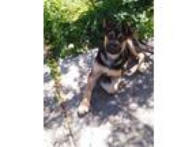 Adopt Prince aka Kudos a German Shepherd Dog
