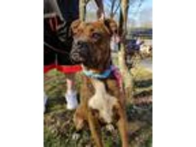 Adopt Dee Dee and Zeus a Boxer, Mastiff
